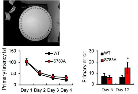 GABAB受容体の活性が高いマウス(S783Aマウス)は長期空間記憶形成に障害がある