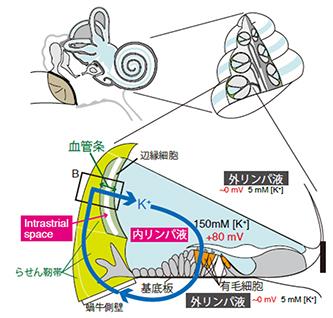 内耳蝸牛の断面図