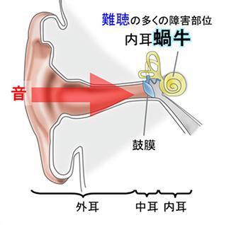 内耳における音伝達の仕組み