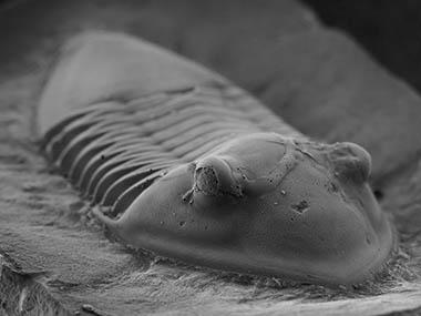 【写真】三葉虫イソテルス(新潟大学自然科学系 椎野勇太准教授撮影)