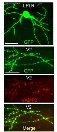 図2:視床から大脳視覚野に伸びる単一神経回路とシナプスの可視化
